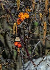 ultime foglie dell'inverno (gianmaria.colognese) Tags: rammi foglie secco cespuglio