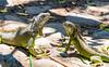 The face off (Moshe Ovadya) Tags: mexico emount ngc iguana outdoor nature photoshop nikcollection sonysel55210e55–210mmf4563oss animals colorefexpro ixtapa sonyα6300 cocodrilarioplayalinda ilce6300 lightroom sel55210 sony a6300 crocodilefarm e estuary lizard outdoors guerrero mx animal