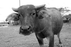 Inquisitive Buffalo 3 (Bob Hawley) Tags: nikond7100 nikon2870mmf3545afd asia pingtung taiwan outdoors xuhai animals bubalusbubalis domestic farming agriculture blackandwhite monochrome closeup faces