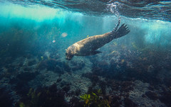 Passerby-Reprise (Snirk) Tags: seal underwater gopro montague island seals narooma snorkelling animal
