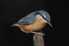 Nuthatch.....with feeder removed (Scuba`Steve`) Tags: