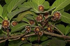Nauclea orientalis (andreas lambrianides) Tags: naucleaorientalis rubiaceae cephalanthusorientalis australianflora australiannativeplants australianrainforests australianrainforestplants australianrainforestflowers warfp qrfp ntrfp cyrfp arfflowers stipuleskf yellowarfflowers lowlandarf galleryarf