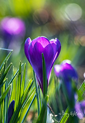 Crocus [Explore!] (Terry Aldhizer) Tags: crocus flower spring grass bokeh city roanoke terry aldhizer wwwterryaldhizercom