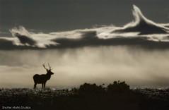 lone.elk (Shutter Mafia) Tags: elk clouds sillouette rmnp wildlife morning rockymountainnationalpark