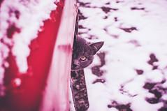 GreyHead (Fortyse7en) Tags: cat car head cateye