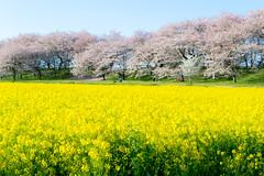 _DSC4450 (sayo-tsu) Tags: sakura saitama cherryblossom gongendopark sattecity 桜 菜の花 お花見 権現堂 埼玉県
