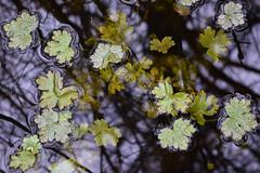 Volo Bog (pchgorman) Tags: volobogstatenaturalarea illinois march leaves water cursedcrowfoot ranunculussceleratus taxonomy:binomial=ranunculussceleratus ranunculus ranunculaceae calendar2018