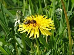 flores  (macro ) (macosmallada(proaza)) Tags: primavera abejas amarilla taraxacumofficinale flores flowers macro art