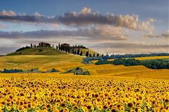 Giallo sole (Zz manipulation) Tags: art ambrosioni alberi giallo grano landscape luce campagna colori country italia