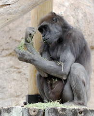 Western Lowland Gorilla (Gorilla gorilla); Rio Grande Zoo, Albuquerque, NM [Lou Feltz] (deserttoad) Tags: zoo nature park newmexico animal mammal ape gorilla africa