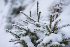 snowy (SpotShot) Tags: sony a7 ilce7 sonya7 fe 50mm f18 50 sony50mmf18 sonyfe50mmf18 sel50f18f todtnau badenwürttemberg deutschland cold kalt snow schnee white weis tree baum