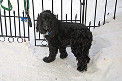 Jackson in the Snow at the Fence (hbickel) Tags: dog jackson snow fence photoaday pad canont6i canon