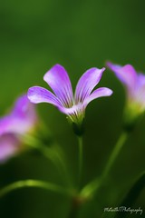 Purple Flower IMG_5397-1 (matwith1Tphotography) Tags: matwith1t canon eos70d 70d 100mm wildflowers weeds outdoors