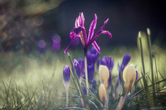 Colors of Spring (ursulamller900) Tags: colorful springflower spring crocus krokus iris diaplan28100 bokeh plant morningdew plants