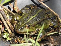 Und der Frosch ist auch schon da! (Wallus2010) Tags: frosch teich wasser frühling grosmoor nikon p900 superzoom supertele niedersachsen germany greatphotographers