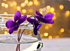 Violets with Golden Bokeh ... (MargoLuc) Tags: spring charming flowers purple golden bokeh lights glass table white stilllife macro indoor