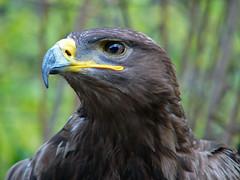 The king (The kun) Tags: panasonic panasonicdmcfz10 werner bird eagle animal animalplanet zoo
