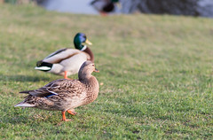 dnc201703-003 (tbird1972) Tags: d800 potsdam sanssouci nature bird birds ducks duck nikon