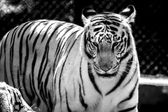 #landscape #nikond5200 #white tiger #chennaizoo (karthikaraj) Tags: landscape chennaizoo nikond5200 indian tiger animal wildanimal zoo whitetiger rareanimal vandalur