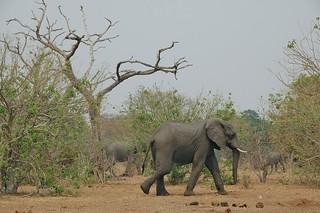 Elephants and dead tree - Chobe National Park, Botswana
