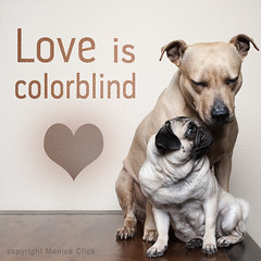 colorblind (monicaclick) Tags: adorable animal beautiful blond breed canine cosy cute different dog dogs enchanted friends friendship furry happiness love lovely loving loyal nice paws pedigree pets pitbull pretty pug puppy small stafford whiskers sitting