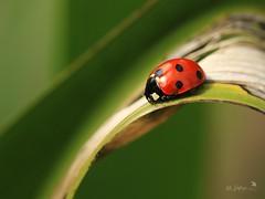 7spot (~ **Barbara ** ~) Tags: ladybird ladybug red 7spot blackred leaf garden uk canon7dii macrolens 100mmf28l