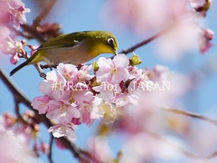 (finalistJPN) Tags: springday cherryblossom birder wildbird sunday sky clear sunny discoverychannel nationalgeographic discoverjapan tripjapan visitjapan lonelyplanet planetearth japanguide japanphoto