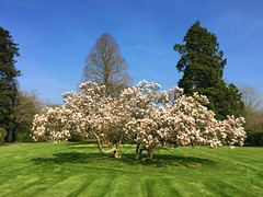 Magnolia Tree (Marc Sayce) Tags: magnolia tree lodge march spring 2017 forest alice holt hampshire wrecclesham farnham surrey south downs national park
