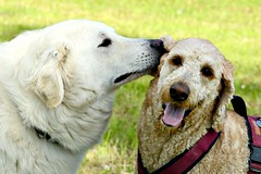 Mogli and Fiona sharing a secret (balu51) Tags: white dogs meadow mai hund hunde kuvasz pfingsten playingdogs 2013 hirtenhund spielendehunde