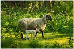 Springtime (15) (H. Bos) Tags: haven nature grass animal sheep natuur lamb gras lente sheeps dier lam springtime almere schapen schaap lammetje littlelamb waterlandsebos