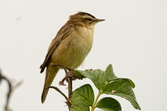 Sedge Warbler. (stonefaction) Tags: nature birds scotland fife wildlife ness faved