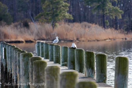 Two Sea Gulls sitting on the Pier, Maryland