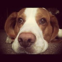 (loulou.c) Tags: beagle