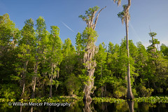 "Black Water Blue Sky (WilliamMercerPhotography) Tags: wild nature animal reflections outdoors wildlife south mercer okefenokee okefenokeeswamp ""nikon ""sigma photography"" ""william nikond3s nikkor1635 d3s"" 50500"" southernhobbyist williammercerphotography"