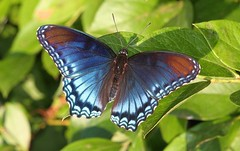 Red Spotted Purple (DrPhotoMoto) Tags: blue red orange butterfly northcarolina mimic richmondcounty limenitisarthemis redspottedpurple limenitisarthemisastyanax thecolorred thinfilminterference frequencywaves pipevineswallowtailmimic