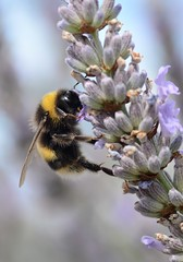 Nearly at the top (Grumpys Gallery) Tags: macro nature gardens wildlife bees lavender insects whitetailedbumblebee