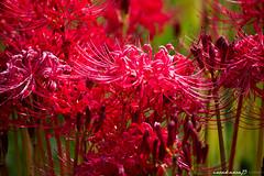 (iwakawa73) Tags: red flower macro green nature japan canon landscape photography eos dof paddy bokeh kagoshima september depthoffield 300mm dslr tamron 6d  clusteramaryllis iwakawa73
