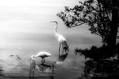 Bird Sangtury (1 of 1) (Donbigga) Tags: trees sea blackandwhite bw usa black color tree beach water birds animals clouds island wildlife