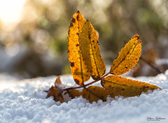 Winter is coming (Hkon Kjllmoen, Norway) Tags: autumn winter light snow cold macro beautiful beauty sunshine norway leaf october low north arctic bod coth supershot visitnorway impressedbeauty flickrdiamond canoneos5dmarkiii 5dmkiii coth5 mygearandme canon100mmlmacro sunrays5