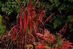 Blood grass and heavenly bamboo (Mabjack) Tags: red green fall nature grass leaves season leaf foliage colourful nandina bloodgrass heavenlybamboo autumncolour japanesebloodgrass sacredbamboo imperatacylindricarubra mabjack