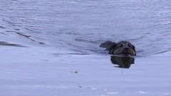 20131107.131.Jasper.Retrieving.His.Orange.Ball.At.The.Little.Fresh.Pond.Dog.Beach (rlg) Tags: november rescue dog male animal swimming ball mammal video mutt jasper texas thursday 07 mov 1107 fpr retrieving lfp 2013 28nov09 201311 lfpdb jasperrg canonsx50 11072013 20131107