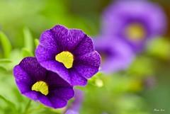 Two Hearts Beat As One (Anna Kwa) Tags: flowers macro art nature marina singapore purple bokeh calibrachoahybrid minipetunia flowerdome gardenbythebay calibrachoacabaretdeepblue