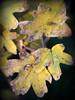 Autumn maple (ExeDave) Tags: pb305886 fieldmaple acercampestre starcross teignbridge devon england gb uk flora plant wildflower tree shrub woody maple acer aceraceae nature november 2013 autumn vignette yellow leaves geo:lat=5063209833238649 geo:lon=34501348435878754 geotagged iba
