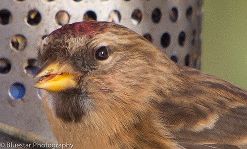 Redpoll - close up