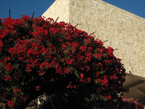 Bougainvillea at the Getty