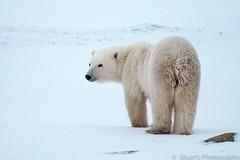 Polar Bear (stualitravels) Tags: travel canada polarbear churchill travelphotography