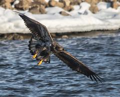 Eagle 34 (Jan Crites) Tags: winter bird river flying fishing nikon eagle zoom wildlife flight sigma iowa raptor mississippiriver soaring americanbaldeagle d600 leclaire lockanddam14 150500mm