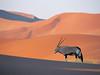 孤單的大羚羊。 (mksbcphoto) Tags: 範例 野生生物 橫印