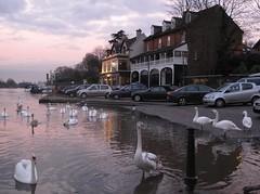swan flood riverthames waltononthames theanglers