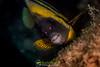 Cortez Angelfish (Pomacanthus zonipectus) (NatureStills) Tags: ocean sea wild fish detail macro slr nature animal closeup fauna sonora swimming mexico big highresolution nikon marine close natural outdoor wildlife border stock nopeople professional mexican international micro latin northamerica fullframe nikkor dslr reef sonoran biology mx identify biological sancarlos magnify slimy seaofcortez coralreef gills d800 gulfofcalifornia largerthanlife organism blownup newworld northernmexico wildlifephotography cortezangelfish pomacanthuszonipectus naturestills closeupenlarged d800e scotttrageser httpwwwnaturestillscom
